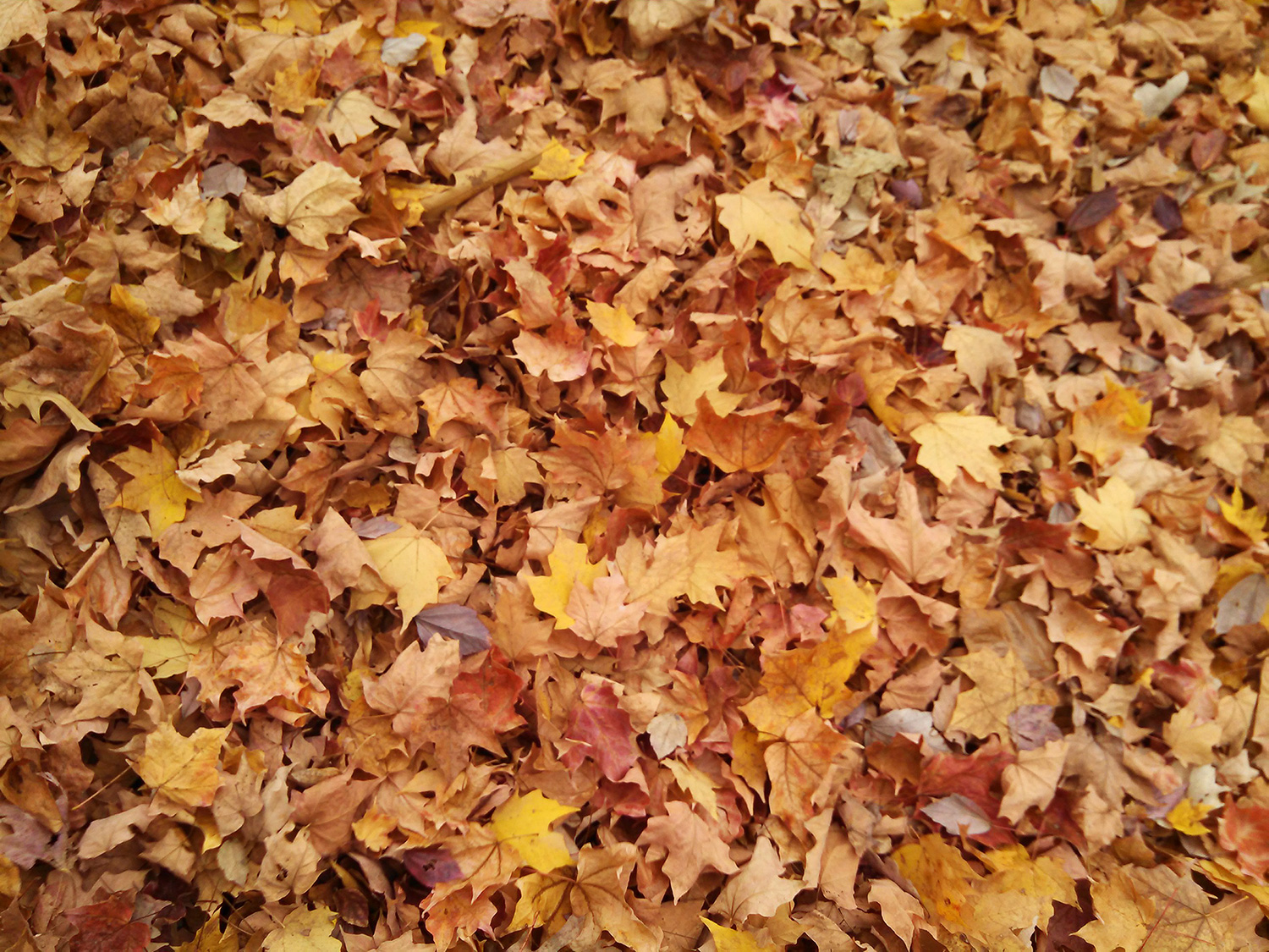 A carpet of fallen maple leaves